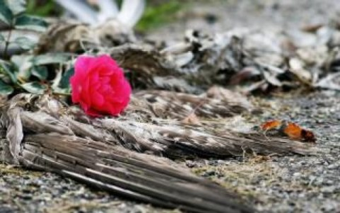 dead-bird-and-rose_19-131127.jpg