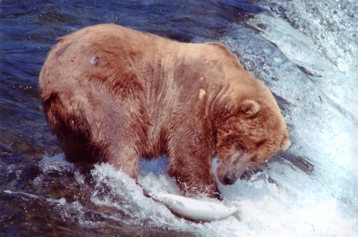 grizzly_bear_fishing1.jpg