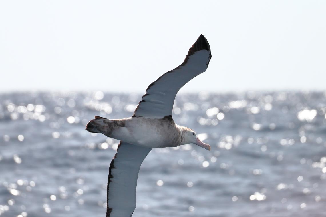 ed-dunens-wandering-albatross.jpg