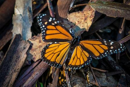 monarch-butterfly-tree